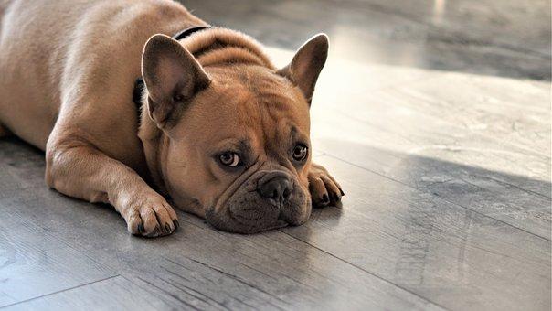 French Bulldog, Dog, Vigilant, Curious, Expectant, Paws
