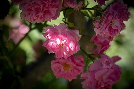 Roses, Flowers, Pink, Garden, In The Garden
