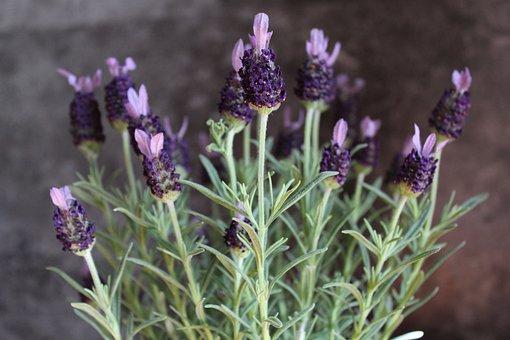 Wild Mint, Decorative, Violet, Green, Plant