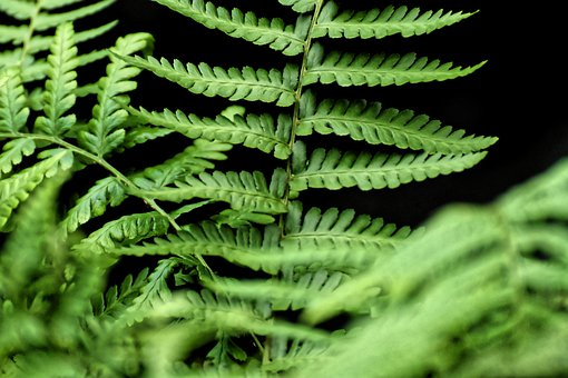 Fern, Plant, Green, Nature, Leaves, Flora, Wedel, Macro