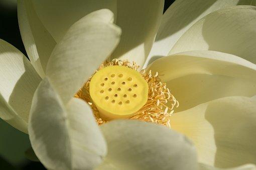 Flower, Lotus, Heart, Yellow, Zen, Nature, Pond, Petals