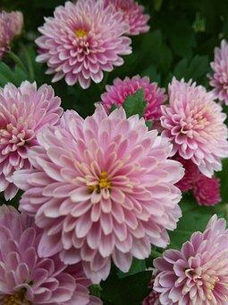 Mums, Purple, Pink, Petal, Chrysanthemum, Flowers