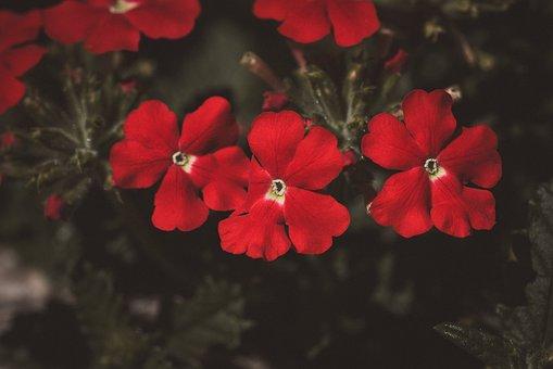 Flowers, Red, Flower, Garden, Plant, Nature, Flora
