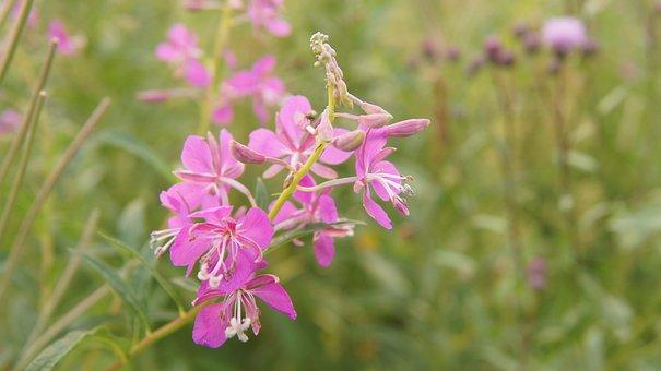 Rosebay Willow-herb, Wildflowers, Flower, Blossom