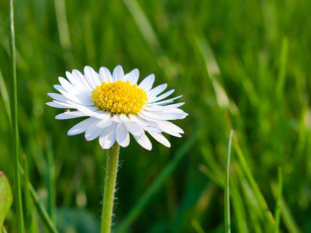 Daisy, Single, Flower, Nature, White, Petals, Botany