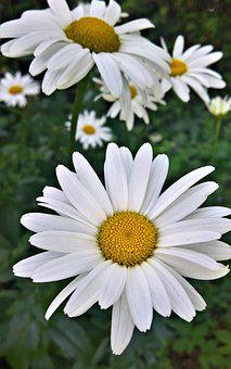 Flowers, Daisies, Shrub, Composites, Garden, Summer
