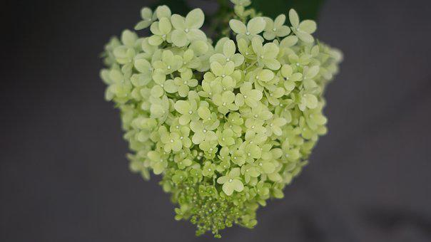 Hydrangea Flowers, Heart Shape, Bloom, Heart, Summer