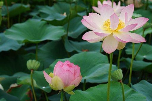 Lotus, Summer, Flowers, Plants, Water Lilies, Beauty