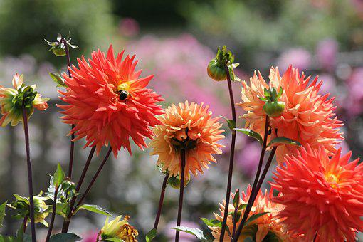 Dahlia, Flowers, Garden, Nature, Flora, Bloom, Summer