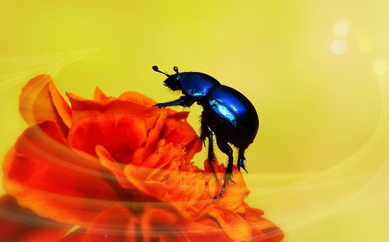 Forest Beetle, The Beetle, Marigold, Garden, Bright