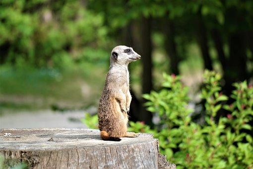 Meerkat, Vigilant, Attention, Animal, Guard, Watch