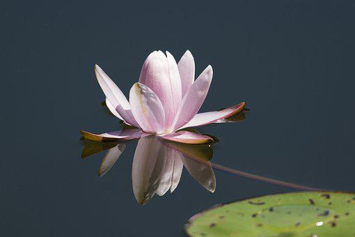 Water Lily, Flower, Nature, Pond, Pink, Lotus