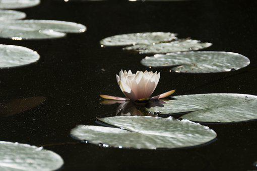 Water Lily, Pond, Plants, Flowers, Pink, Nature, Leaf