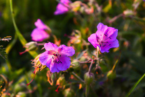 Flowers Of The Field, Flowers, Meadow, Wild Flower