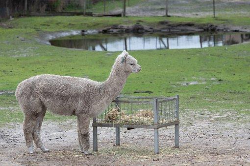 Alpaca, Mammal, Animal, Herbivore, Wool, Camelid