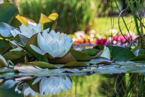 White Water Lily, Blooms, Pond, Aquatic Plant, Flowers