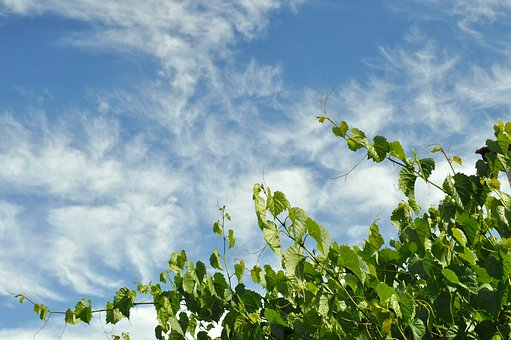 Grapevine, Sky, Clouds, Nature, Greenery, Blue, Summer