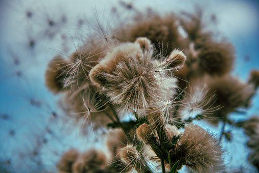 Thistle, Faded, Summer, Sky, Blue, Fluffy, Seeds