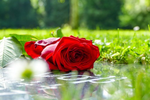 Rose, Grave, Cemetery, Death, Tombstone, Flower, Tomb