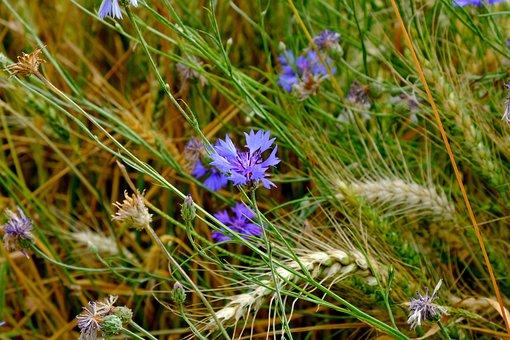 Cornflower, Flower, Meadow, Wild Flower, Blossom, Bloom