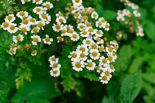 Chamomile, Flower, Bloom, Nature, Daisy, Flora, Plants
