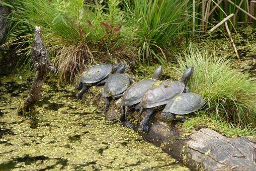Turtles, Five Turtles, Pond, Pools, Grasses, Water
