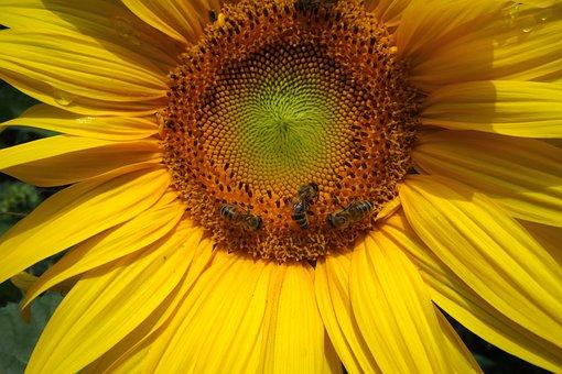 Sunflower, Bees, Blossom, Bloom, Garden, Insect, Flower