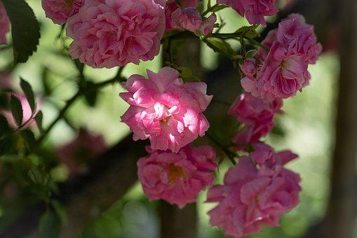 Roses, Flower, Flowers, Garden, Nature, Flora
