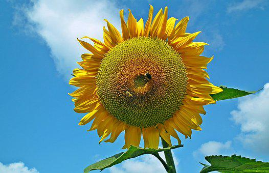 Sunflower, Flower, Yellow, Summer, The Petals, Sunny