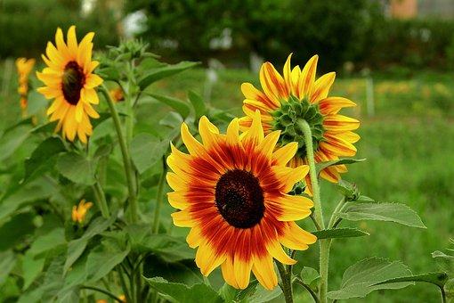 Sunflowers, Field, Flowers, Nature, Landscape