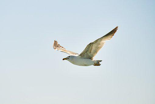 Seagull, Bird, Fly, Flying, Animal, Nature, Wing, Wings