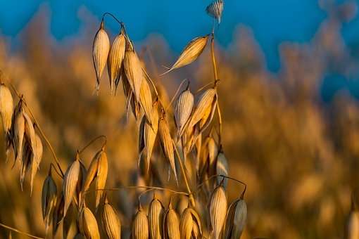 Oats, Corn, Harvest, Field, Summer, Grains, Agriculture
