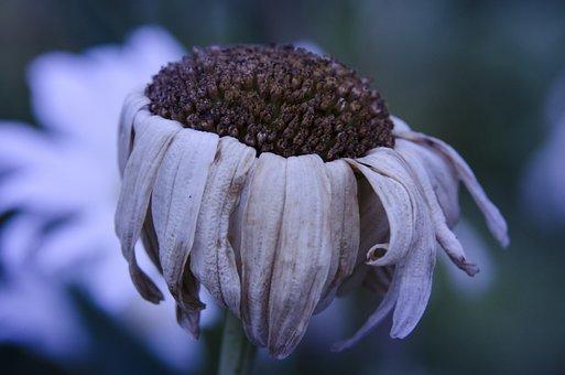 Marguerite, Great Margarita, Flower, Nature