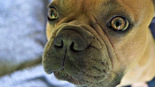 Eyes, Iris, Pupil, View, Nose, Dog, French Bulldog, Fur