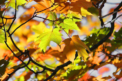 Fall, Autumn, Orange, Yellow, Leaves, Branches, Tree