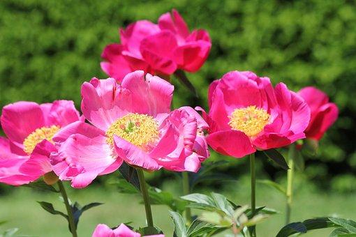 Vibrant Flowers, Pink, Magenta, Yellow, Garden, Nature