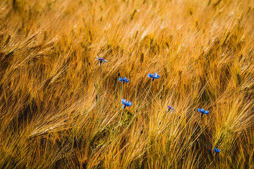 Cornflower, Field, Flowers, Meadow, Nature, Oats, Food