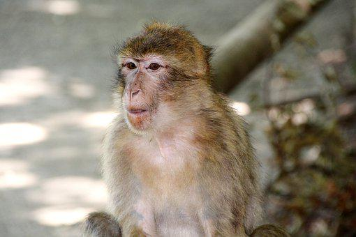 Monkey, Barbary Ape, Macaque, Mammal, Animal Portrait