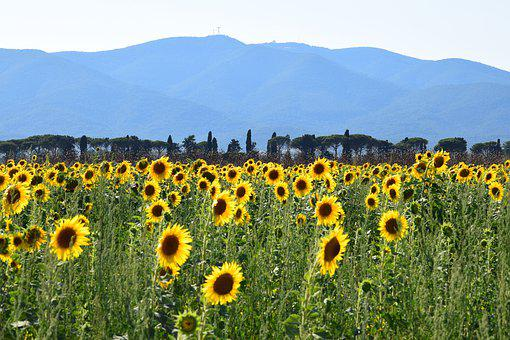 Sunflower, Sunflower Field, Mountain, Summer, Nature