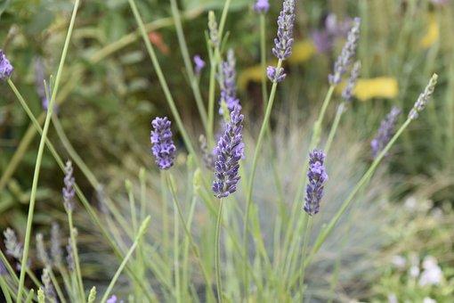 Flower, Lavender Flowers, Perfume, Smell, Green Foliage