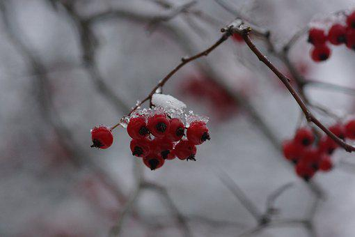 Snow, Winter, Red, White, Nature, Beads, Branch, Plant