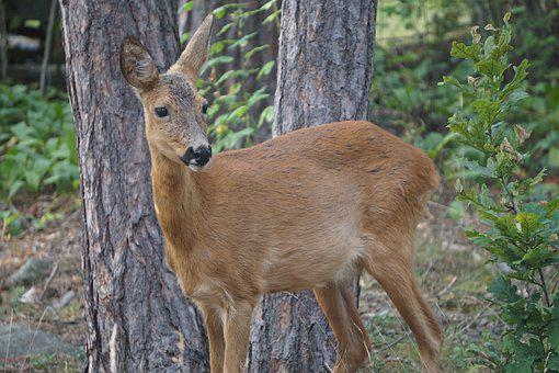 Roe Deer, Pine, Forest, Nature, Animal, Mammal