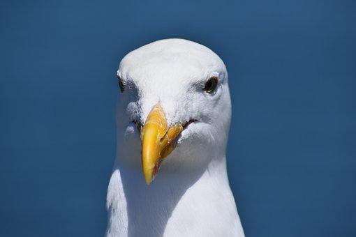 Seagull, Bird, Beak, White, Yellow, Sea, Animal, Sky