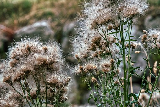 Thistles, Faded, Seeds, Fluffy, Summer