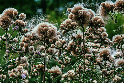 Thistles, Faded, Nature, Summer, Seeds