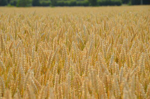 Harvest, Wheat, Cereals, Agriculture, Field, Summer