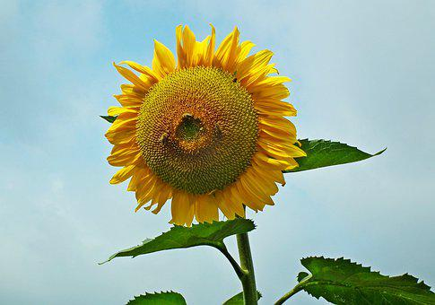 Sunflower, Flower, Summer, Yellow, Nature, Sunny, Macro