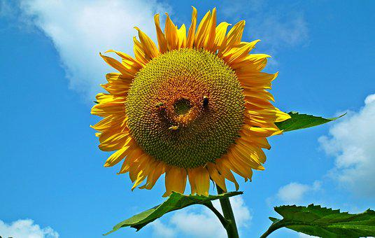 Sunflower, Flower, Summer, Yellow, Nature, Sunny