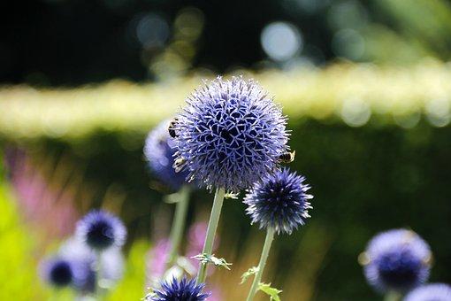 Banat Globe Thistle, Thistle, Blue, Asteraceae