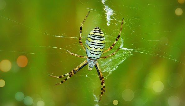 Tygrzyk Paskowany, Female, Arachnid, Abdomen, Model